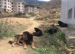 BHUTAN LOOKS TO TECHNOLOGY TO CONTROL DOG POPULATION