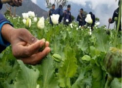 Aided by Indian drug traffickers, Nepali farmers turning from marijuana to opium