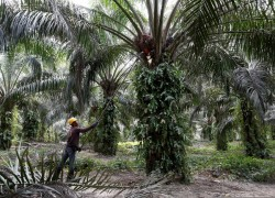 INDIA LIFTS BAN ON IMPORTS OF REFINED PALM OIL FROM NEPAL