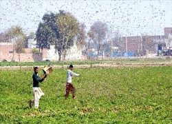 Amid COVID-19, locust attack risks famine in Pakistan, India
