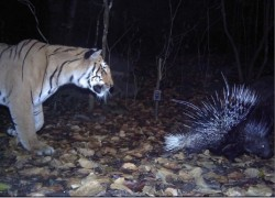 India's tiger census creates Guinness record