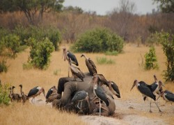 ELEPHANTS MYSTERIOUSLY DYING IN BOTSWANA SINCE MARCH, MORE THAN 350 CARCASSES FOUND