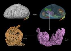 মিয়ানমারে অ্যাম্বারের মধ্যে বিশ্বের প্রাচীনতম শুক্রাণুর সন্ধান লাভ