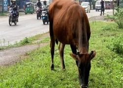 গরু জবাই নিষিদ্ধ করতে যাচ্ছে শ্রীলংকা