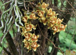 Bhutan records two new orchid species