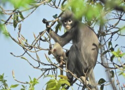 New species of primate identified in Myanmar – and is already endangered