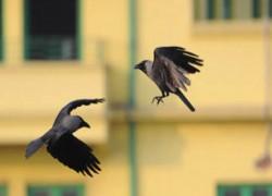 কাকের মড়ক! মধ্যপ্রদেশ ও রাজস্থানে বার্ড ফ্লু আতঙ্ক, নির্দেশিকা কেন্দ্রের