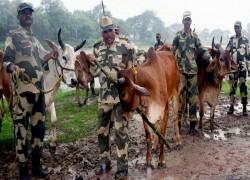 Cattle smuggling along Bengal-Bangladesh border declines