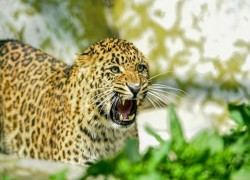 India's leopard population goes up thanks to conservation and crackdown on poaching, but threats remain