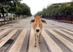 India to hold inaugural cow science exam, but many question 'facts' in government guidebook