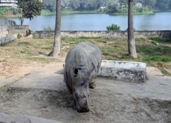Bangladesh zoo seeks mate for lonely Kanchi the Rhino