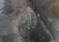 INDIA DISCOVERS FOSSIL OF WORLD'S OLDEST ANIMAL IN BHIMBETA
