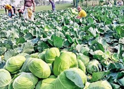 Bangladeshi cabbages in Southeast Asian market