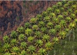 SRI LANKA BANS PALM OIL IMPORTS, TELLS PRODUCERS TO UPROOT PLANTATIONS