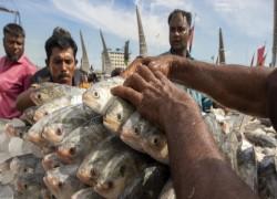 Bangladesh to export 2,080 tonnes of hilsha to India